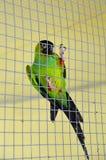 Зеленый цвет попугая в клетке Стоковая Фотография