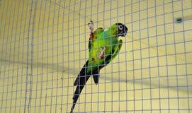 Зеленый цвет попугая в клетке Стоковые Фотографии RF