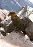 Зеленый цвет попыгая птицы Kea. Пропуск Новая Зеландия Артура Стоковая Фотография