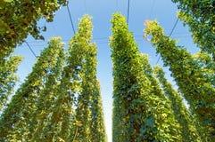 Зеленый цвет подпрыгивает плантация стоковая фотография rf