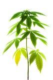 зеленый цвет предпосылки выходит белизна завода марихуаны женщина Стоковое фото RF