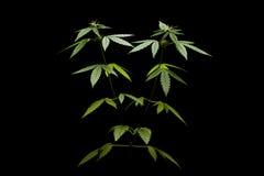 зеленый цвет предпосылки выходит белизна завода марихуаны женщина Стоковая Фотография RF