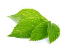 зеленый цвет предпосылки выходит белизна Стоковые Фото