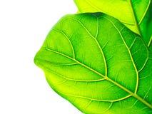 зеленый цвет предпосылки выходит белизна Стоковые Изображения
