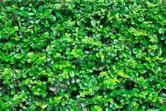зеленый цвет предпосылки выходит стена Стоковые Фото