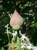 Зеленый цвет природы предпосылки природы цветков лотоса Стоковые Изображения RF