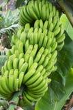 зеленый цвет пука бананов Стоковые Изображения