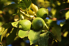 Зеленый цвет плодоовощ лимона Стоковое фото RF
