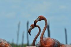 зеленый цвет рамки фламингоа выходит ruber портрета phoenicopterus Портрет фламинго Стоковые Фотографии RF