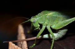 Зеленый цвет саранчи Стоковые Фотографии RF
