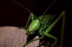 Зеленый цвет саранчи Стоковая Фотография