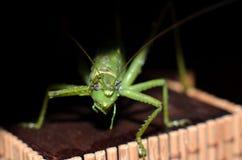Зеленый цвет саранчи Стоковое Изображение RF