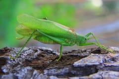 зеленый цвет сверчка Стоковые Изображения