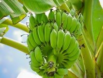 Зеленый цвет сырцовый банана Cultivated стоковое фото
