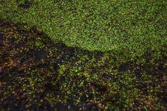 Зеленый цвет Тины на поверхности воды Стоковые Фотографии RF