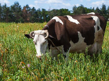 зеленый цвет травы Нормандия Франции коровы Стоковая Фотография RF