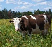 зеленый цвет травы Нормандия Франции коровы Стоковые Изображения