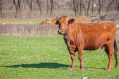 зеленый цвет травы Нормандия Франции коровы Стоковая Фотография