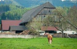 зеленый цвет травы Нормандия Франции коровы Coe ест траву в fron haus фермы Стоковая Фотография RF