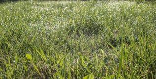 зеленый цвет травы падений росы Сеть с падениями росы на траве Стоковые Фотографии RF