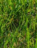 зеленый цвет травы падений росы Сеть с падениями росы на траве Стоковое фото RF