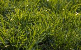 зеленый цвет травы предпосылки свежий текстура травы естественная Стоковые Изображения RF