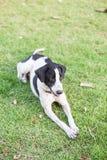зеленый цвет травы собаки Стоковое Изображение