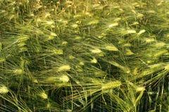 Зеленый цвет травы ячменя Стоковые Фотографии RF