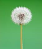 зеленый цвет цветка одуванчика предпосылки Один изолированный объект против детенышей весны цветка принципиальной схемы предпосыл Стоковое фото RF
