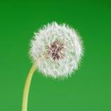 зеленый цвет цветка одуванчика предпосылки Один объект против детенышей весны цветка принципиальной схемы предпосылки белых желты Стоковое Фото