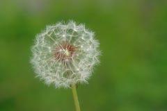 зеленый цвет цветка одуванчика предпосылки Стоковое фото RF
