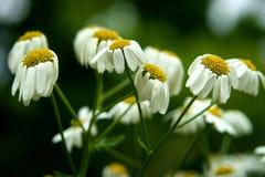 зеленый цвет цветка поля стоцвета предпосылки Стоковые Изображения RF