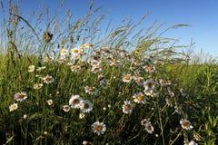 зеленый цвет цветка поля стоцвета предпосылки Стоковые Изображения