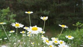 зеленый цвет цветка поля стоцвета предпосылки Стоковое Изображение