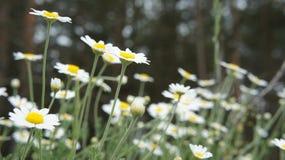 зеленый цвет цветка поля стоцвета предпосылки Стоковые Фото