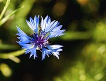 зеленый цвет цветка предпосылки голубой Стоковые Изображения