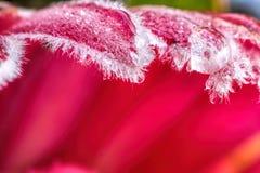 Зеленый цвет цветка Protea Стоковое Изображение RF