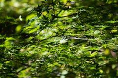 Зеленый цвет японского клена Стоковое Изображение