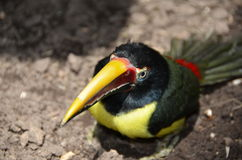 Зеленый цвет Aracari Toucan сидя на земле Стоковое фото RF