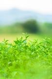Зеленый чай и свежие листья Стоковое фото RF