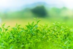 Зеленый чай и свежие листья Стоковое Фото