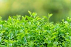Зеленый чай и свежие листья Стоковые Фото