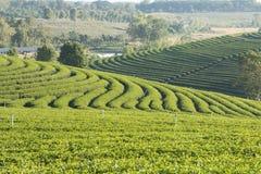 зеленый чай плантации Стоковое Фото