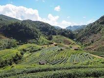зеленый чай плантации Стоковая Фотография