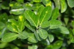 Зеленый чай растет Стоковые Изображения