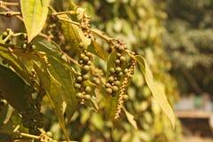 Зеленый черный перец на ветви Стоковые Изображения RF