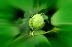 Зеленый шарик хлопка Стоковое Фото