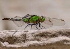 Зеленый шершень Стоковая Фотография RF