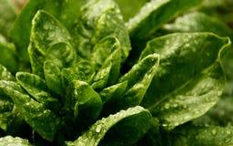 Зеленый шпинат Стоковые Фото