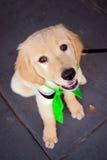 Зеленый щенок пестрого платка Стоковое Изображение